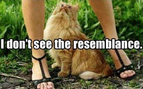funny image resemblance cat